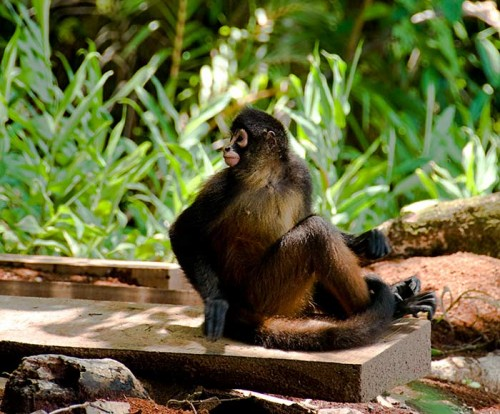 spider monkey in costa rica