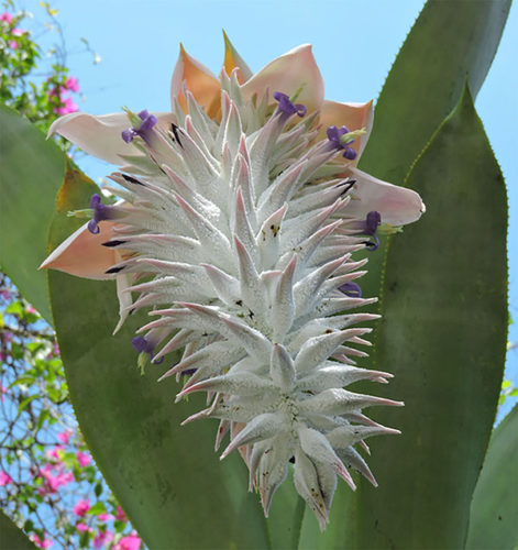 A rare bromeliad, Ursulaea macvaughii in bloom. Photo: Neil Gerlowski