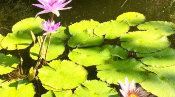 Lily pond at Vallarta Botanical Gardens