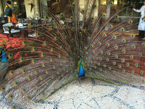 Velas Vallarta peacock