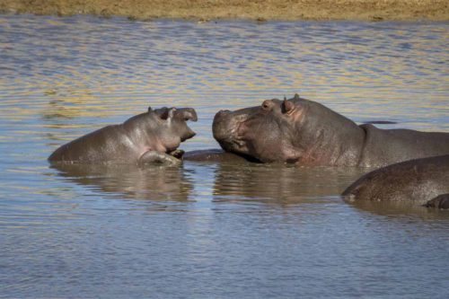 Baby hippo with mother (photo by Tom Schwab)