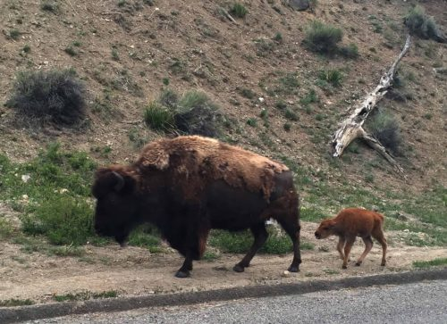 Bison mom & baby