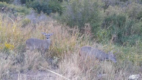 Mule Deer at Chisos Mountains Lodge