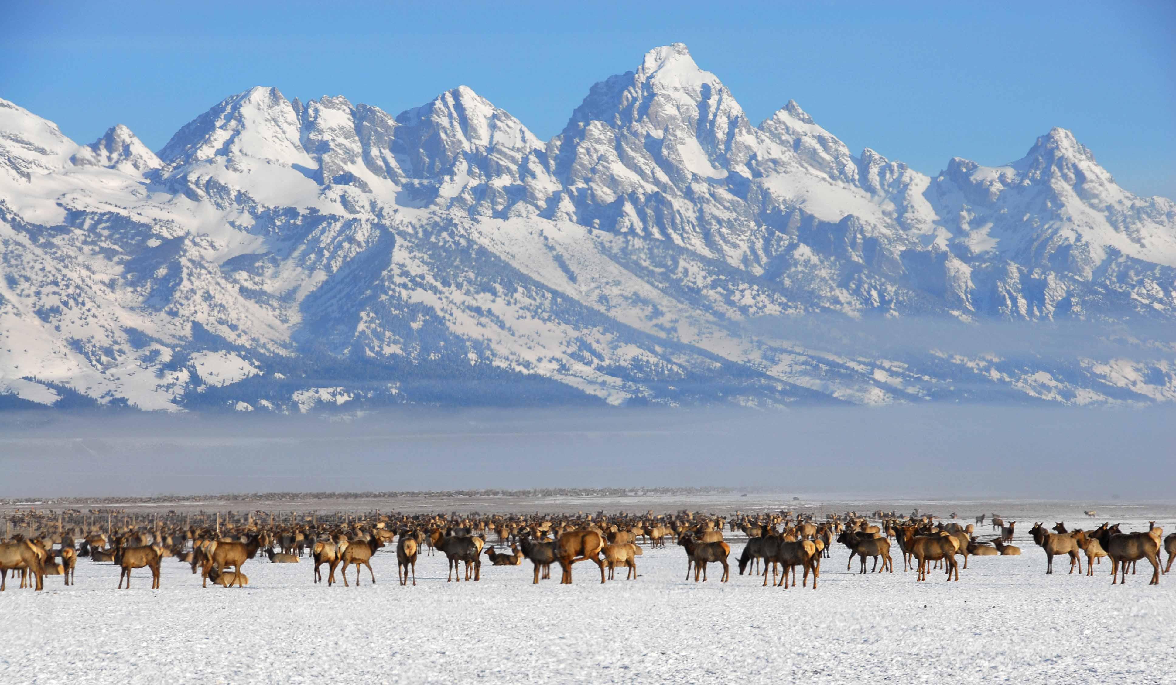 National Elk Refuge - Elk migration herd in winter