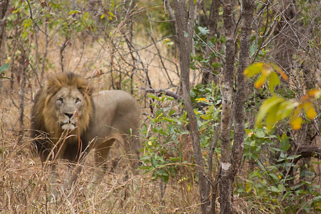 Lion in Majete